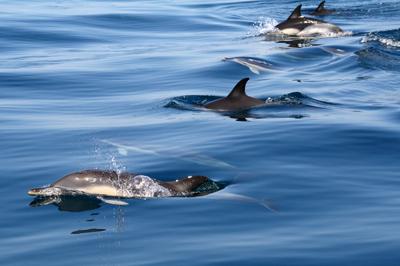 Insonia bådtur Delfiner