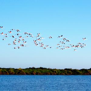Flamingoer ved Ria Formosa