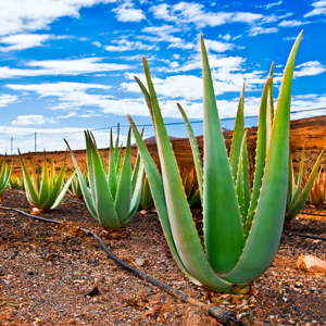 Aloe Vera mark