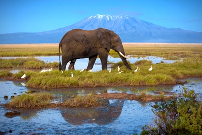 Amboseli Elefant