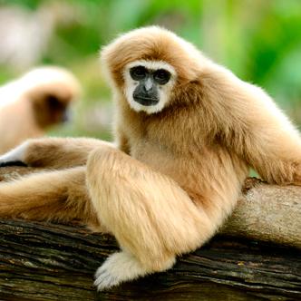Palmitos Park Gibbon