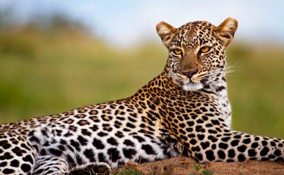 Leopard i Mara