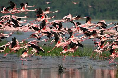 Nakuru Flamingoer