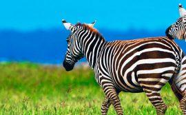 Nakuru Zebra