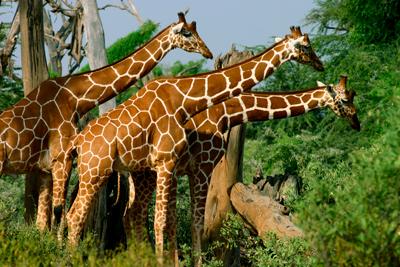 Samburu Giraffer