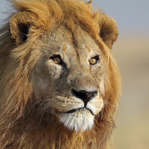 Serengeti Løve