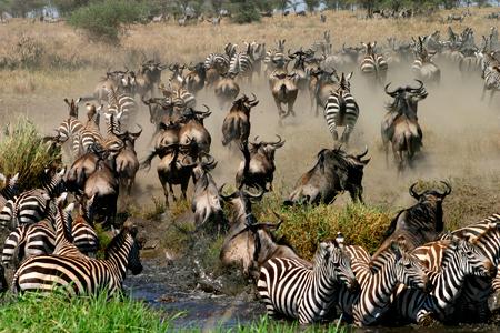 Serengeti Zebra Gnu