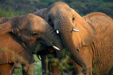 Tanzania Elefanter