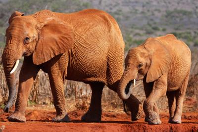 Tsavo Elefanter