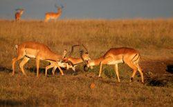 Kenya Gazelle i Mara