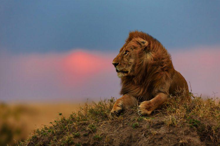 Han løve i Masai Mara ved solopgang