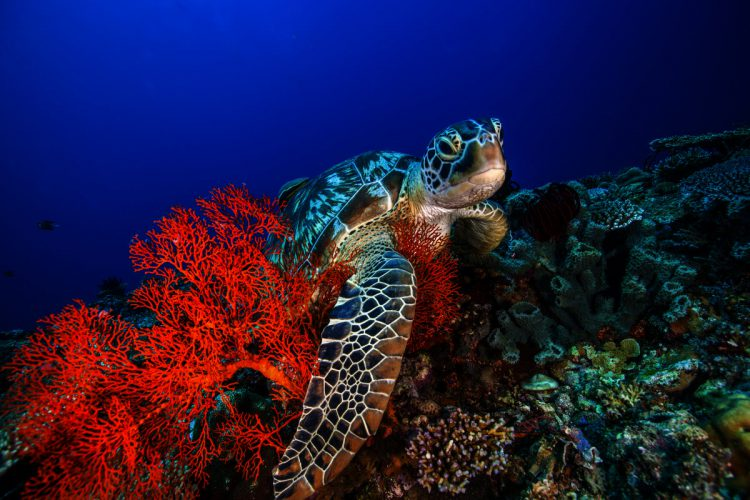 Havskildpadde på Bali